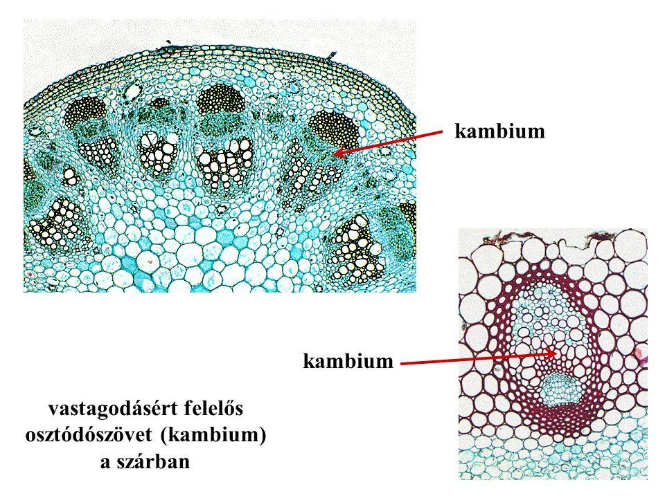 vastagodásért felelős osztódószövet (kambium)