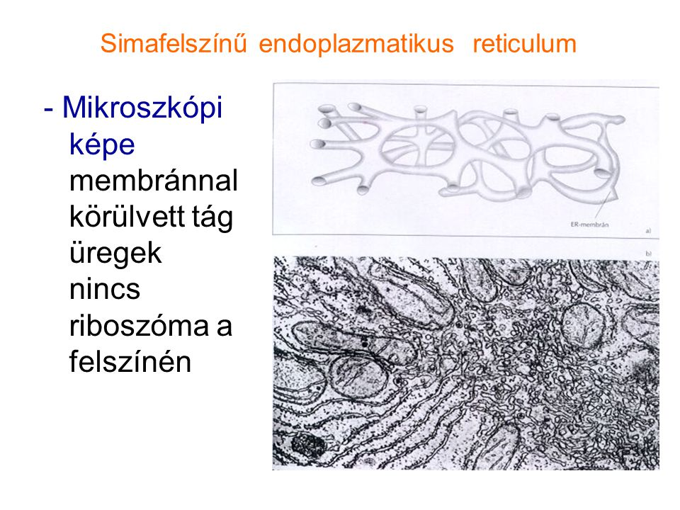 Simafelszínű endoplazmatikus reticulum