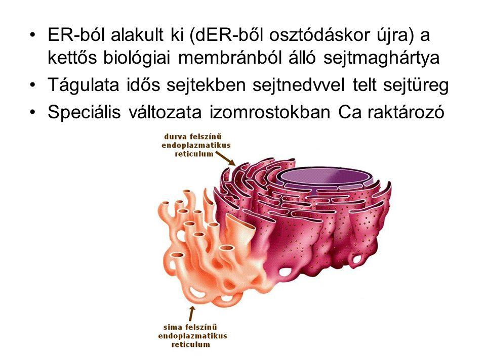 ER-ból alakult ki (dER-ből osztódáskor újra) a kettős biológiai membránból álló sejtmaghártya