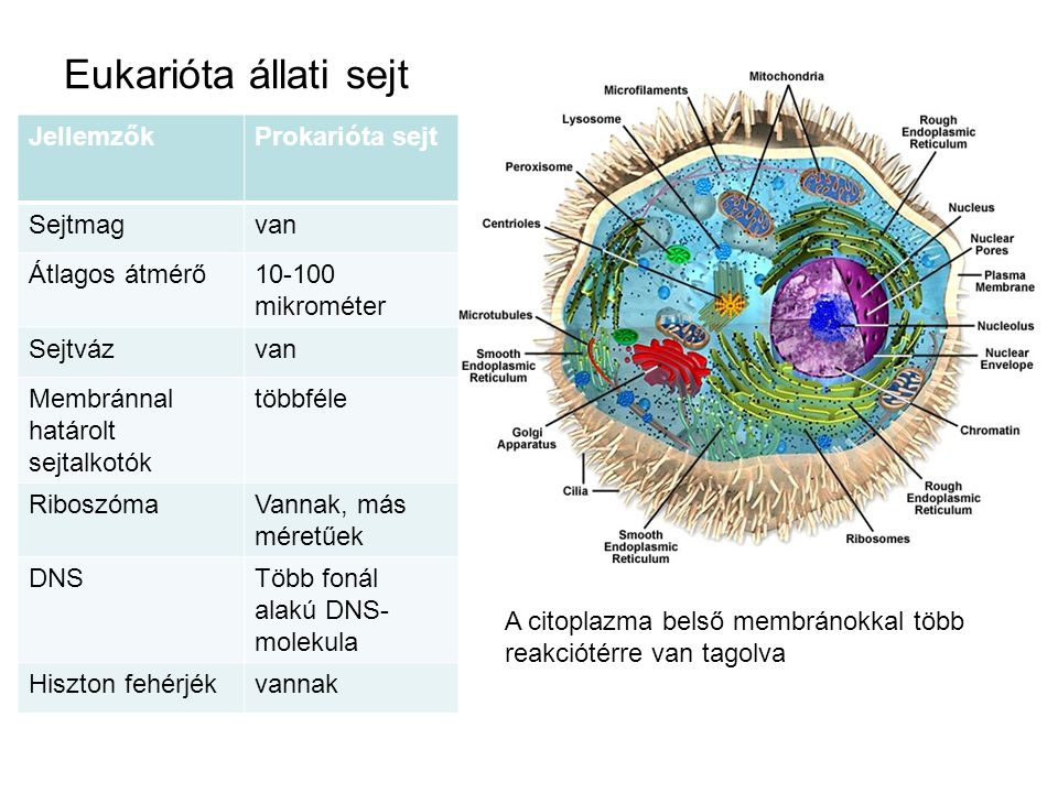 Eukarióta állati sejt Jellemzők Prokarióta sejt Sejtmag van