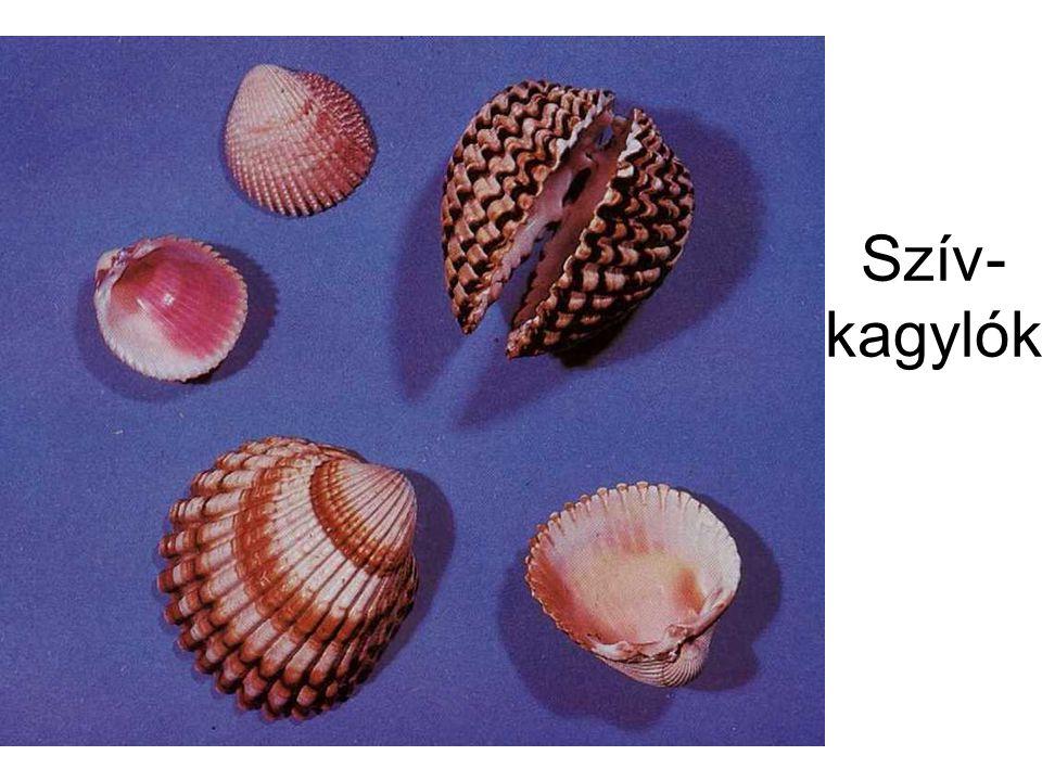 Szív-kagylók A tenger ékszerei