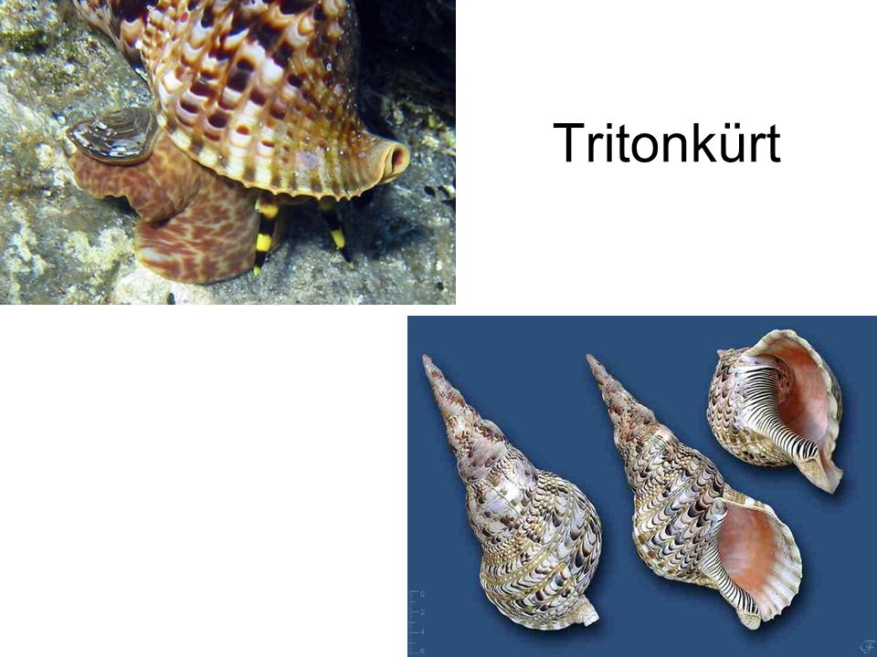 Tritonkürt Bal oldali kép: Internet