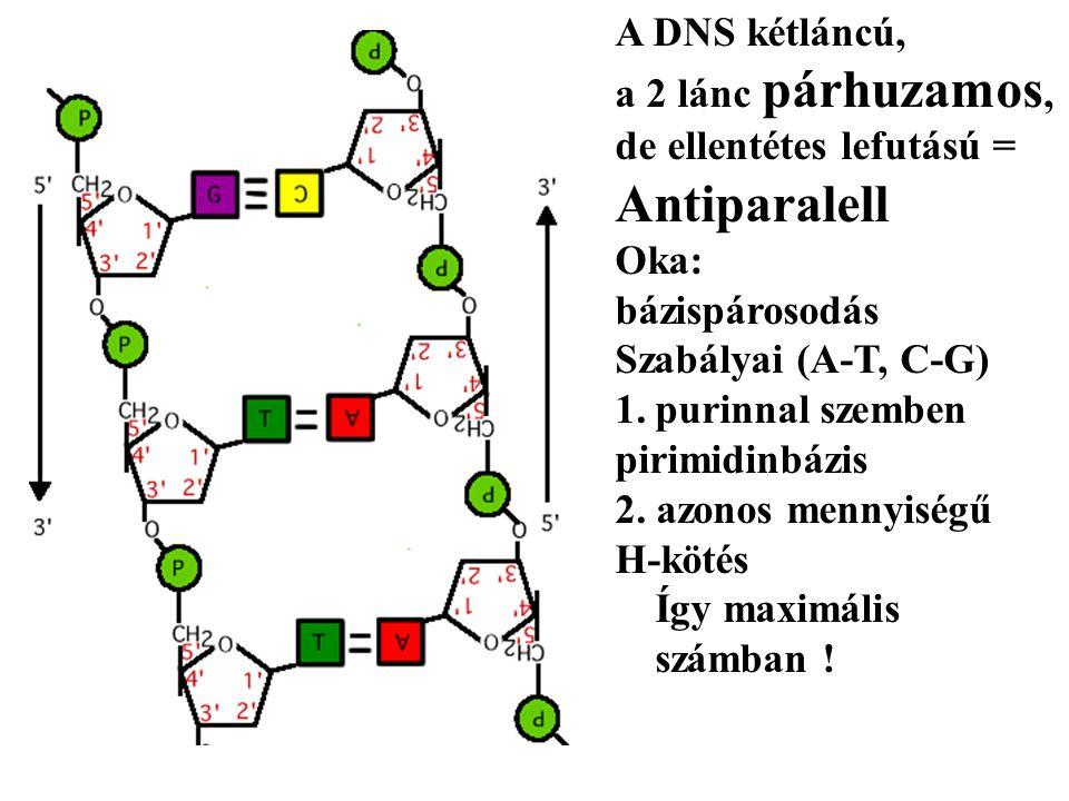 Antiparalell A DNS kétláncú, a 2 lánc párhuzamos,