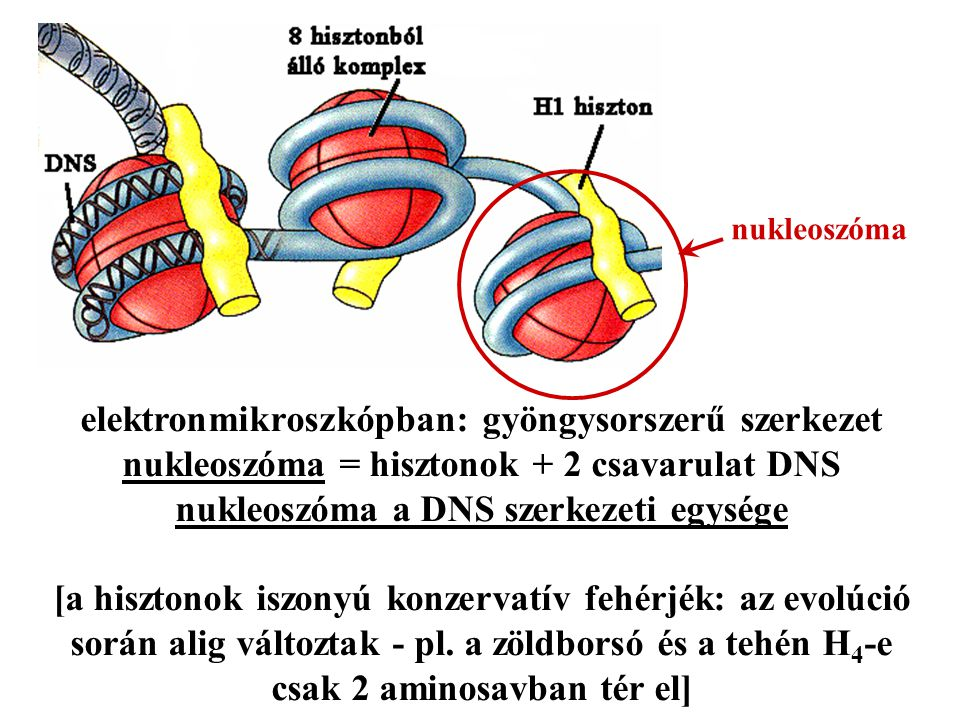 elektronmikroszkópban: gyöngysorszerű szerkezet