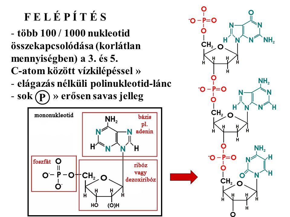 F E L É P Í T É S P több 100 / 1000 nukleotid