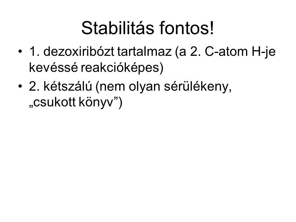 Stabilitás fontos. 1. dezoxiribózt tartalmaz (a 2.