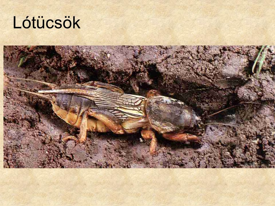 Lótücsök Alsó kép: Rovaraok és pókszabásúak, Magyar Könyvklub Természetkalauz sorozat.