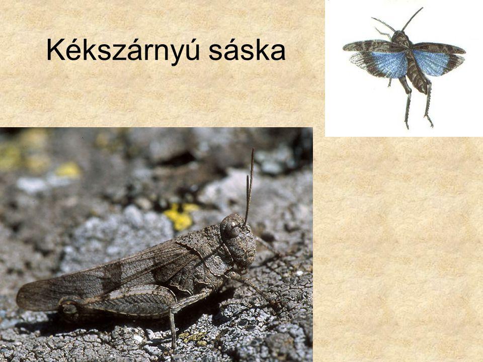 Kékszárnyú sáska Bal oldali rajz: Dr. Varga Zoltán: Állatismeret, Nemzeti Tankönyvkiadó.