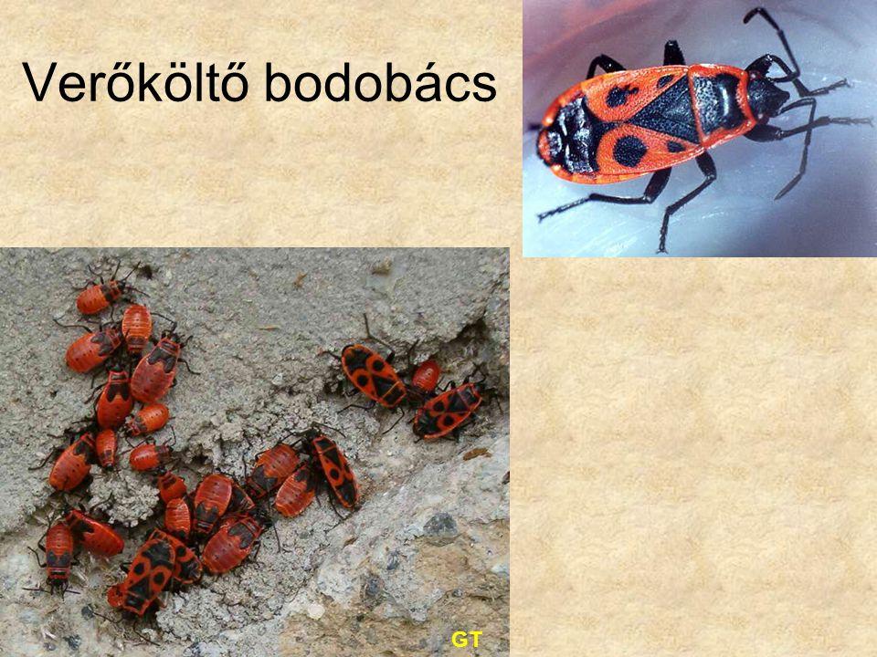 Verőköltő bodobács GT Bal oldali kép: Gergely Tibor felvétele