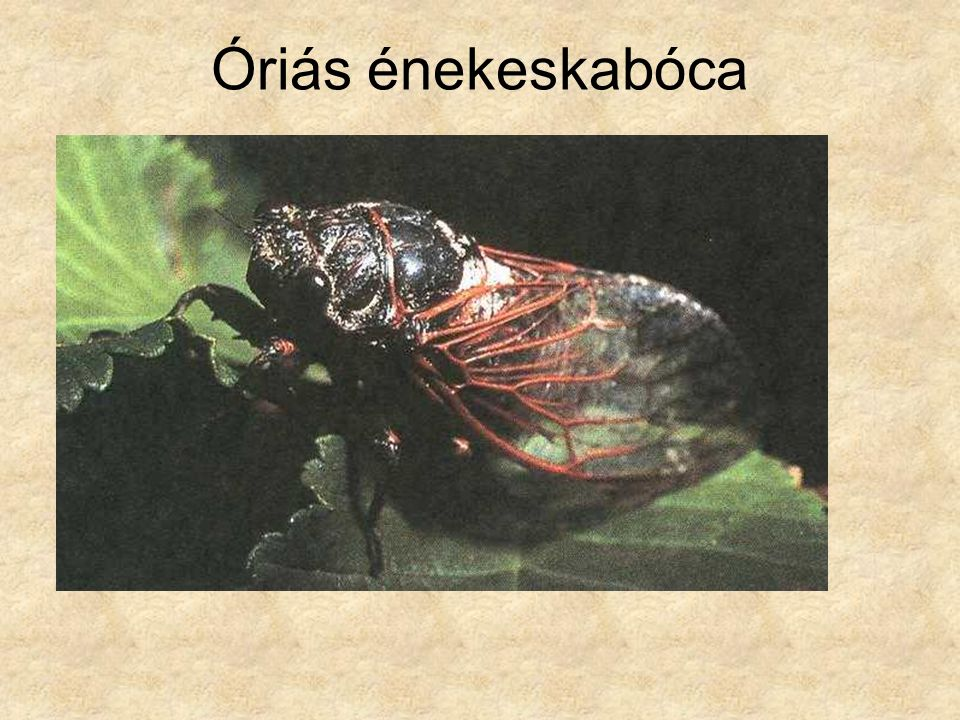 Óriás énekeskabóca Magyarország állatvilága, PANNON ENCIKLOPÉDIA