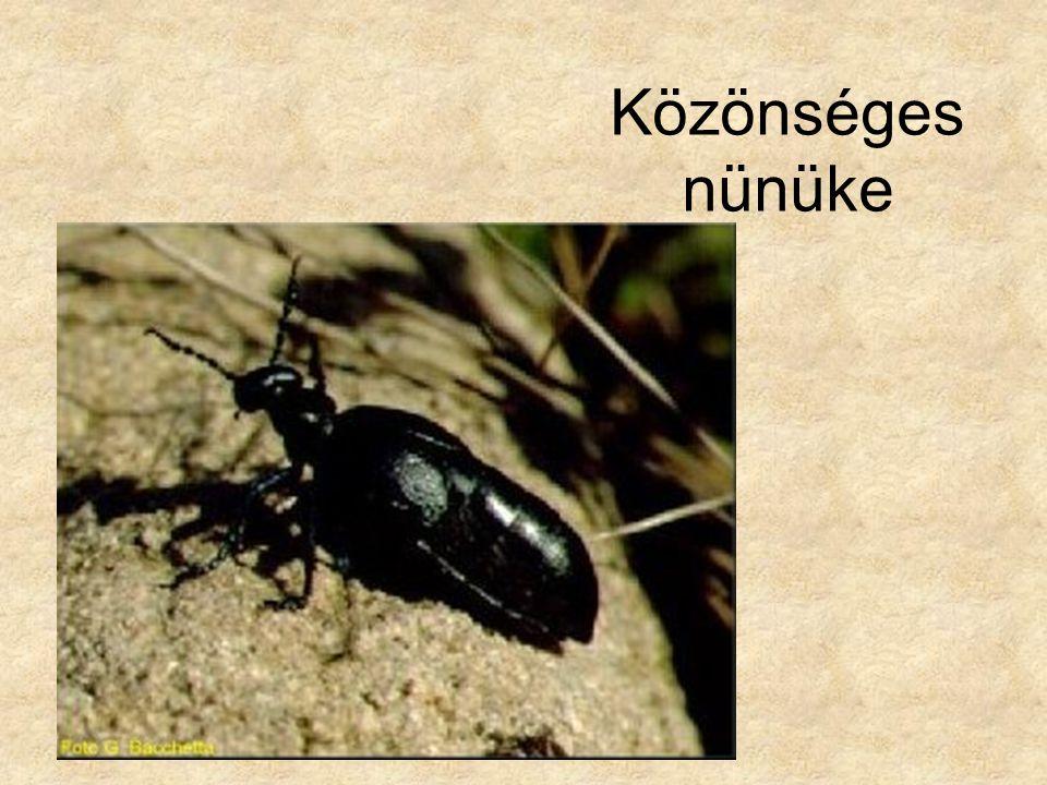Közönséges nünüke Bal oldali kép: Rovaraok és pókszabásúak, Magyar Könyvklub Természetkalauz sorozat.