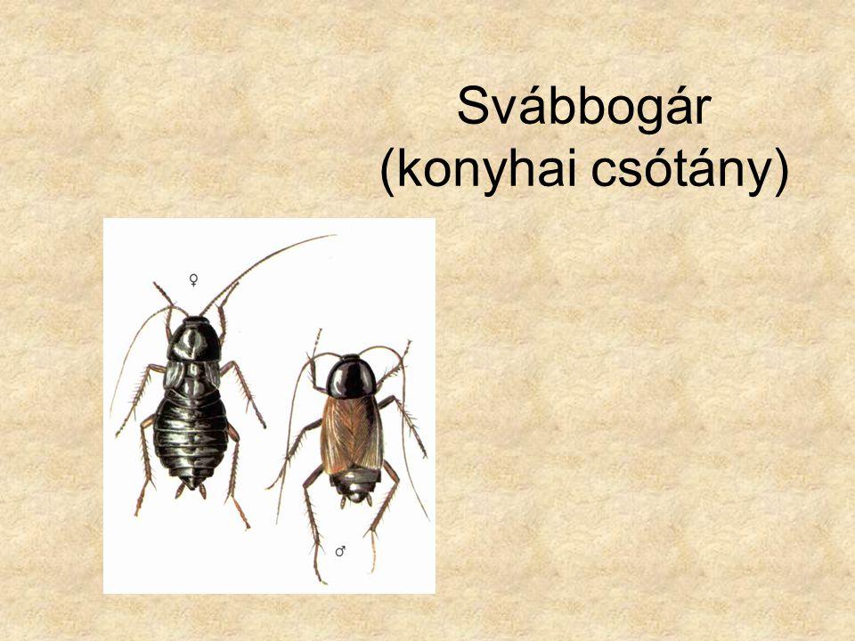 Svábbogár (konyhai csótány)