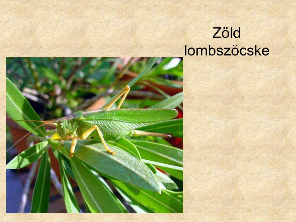 Zöld lombszöcske Jobb oldali kép: Internet