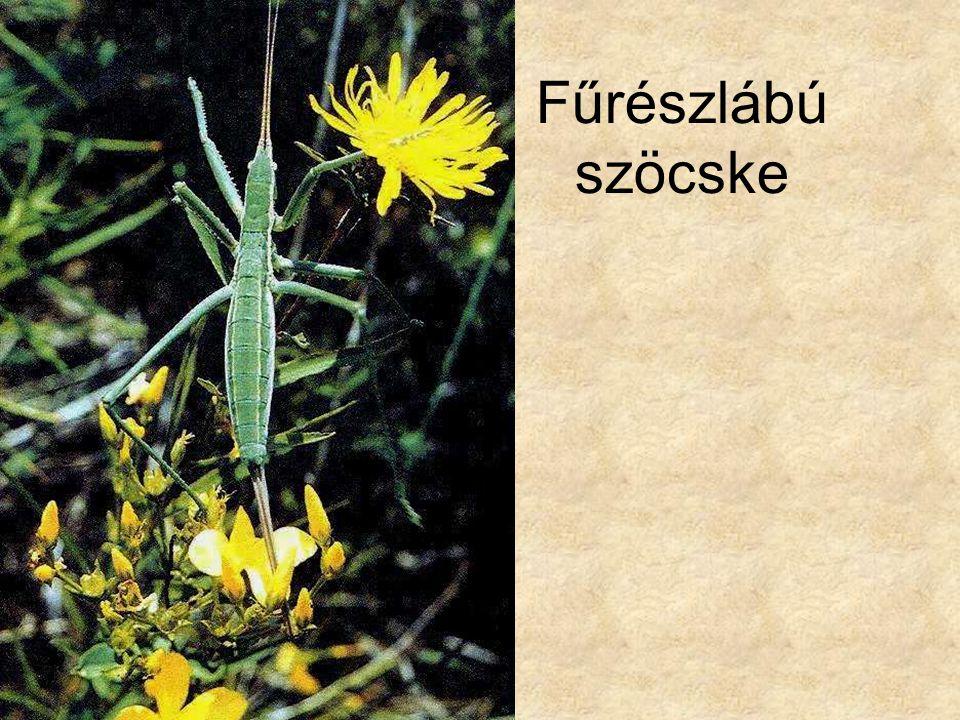 Fűrészlábú szöcske Bal oldali kép: Magyarország állatvilága, PANNON ENCIKLOPÉDIA.