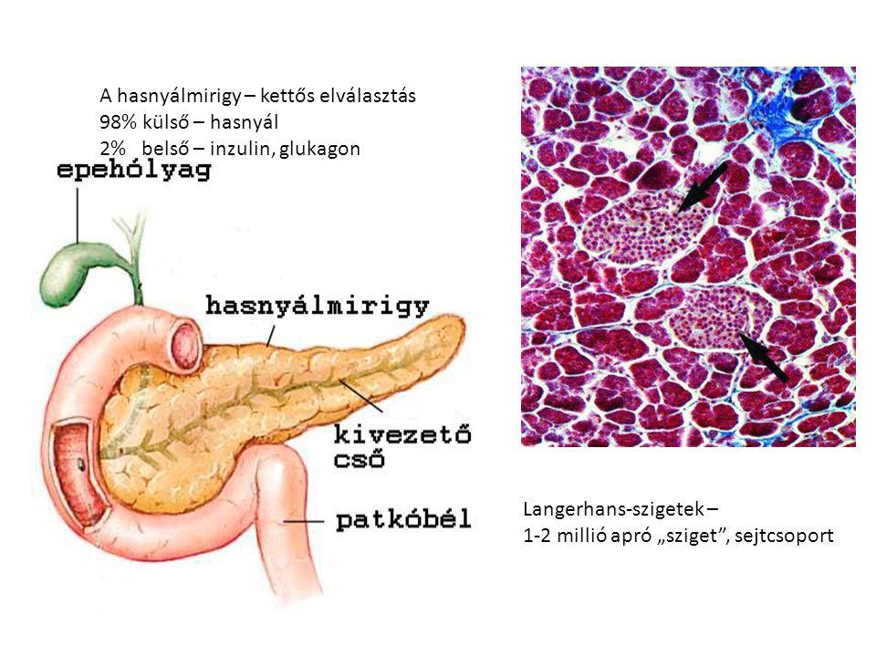 A hasnyálmirigy – kettős elválasztás 98% külső – hasnyál 2% belső – inzulin, glukagon