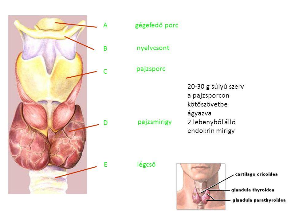 A gégefedő porc. B. nyelvcsont. pajzsporc. C. 20-30 g súlyú szerv a pajzsporcon kötőszövetbe ágyazva 2 lebenyből álló endokrin mirigy.