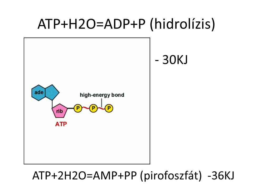 ATP+H2O=ADP+P (hidrolízis)