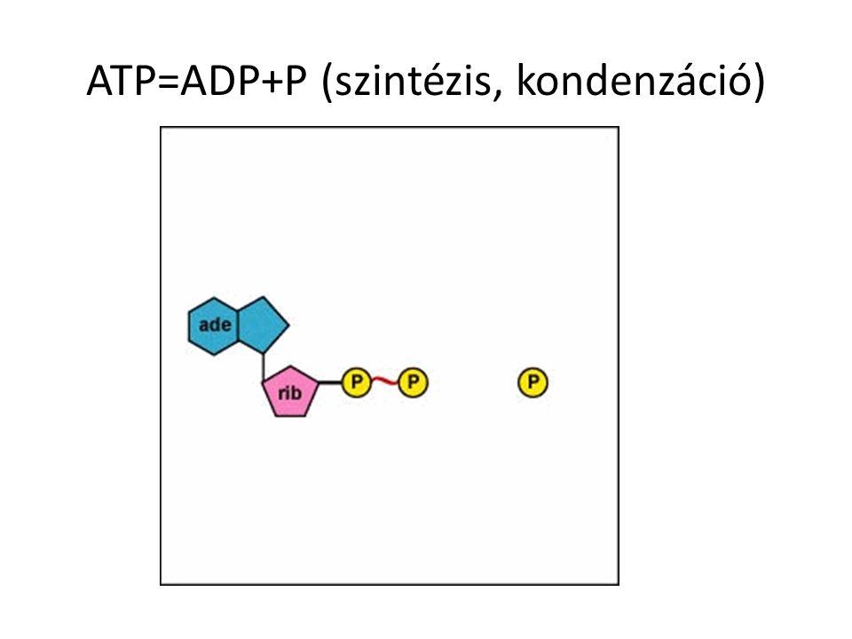 ATP=ADP+P (szintézis, kondenzáció)