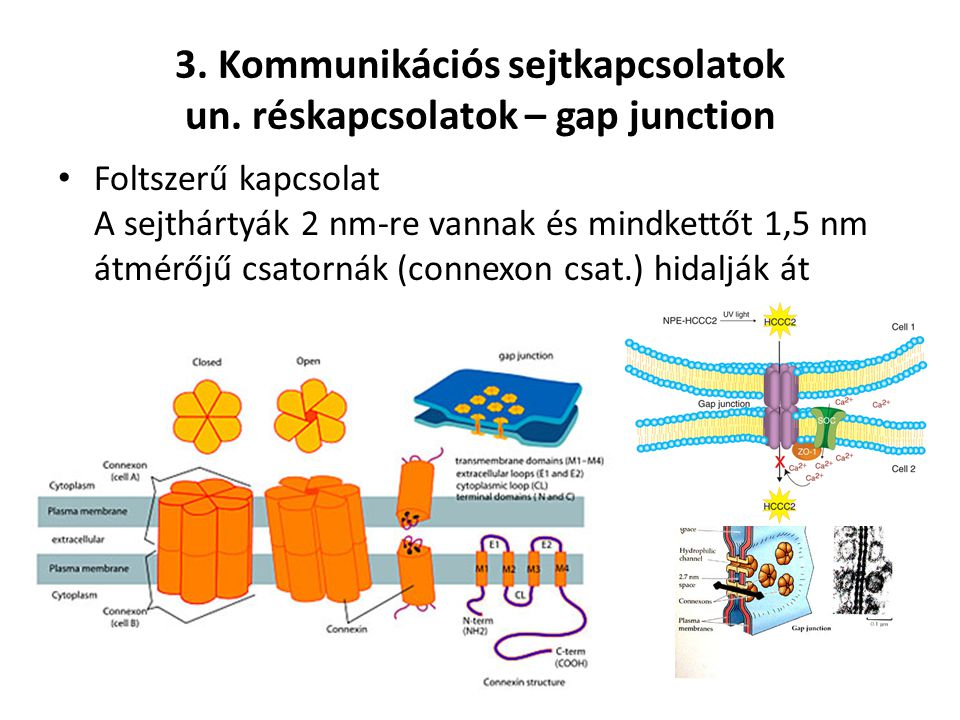 3. Kommunikációs sejtkapcsolatok un. réskapcsolatok – gap junction