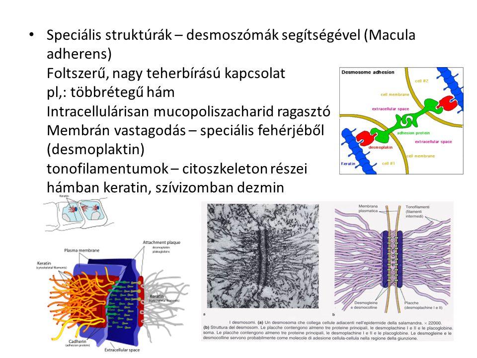 Speciális struktúrák – desmoszómák segítségével (Macula adherens) Foltszerű, nagy teherbírású kapcsolat pl,: többrétegű hám Intracellulárisan mucopoliszacharid ragasztó Membrán vastagodás – speciális fehérjéből (desmoplaktin) tonofilamentumok – citoszkeleton részei hámban keratin, szívizomban dezmin