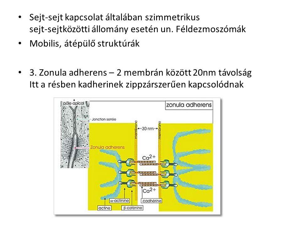 Sejt-sejt kapcsolat általában szimmetrikus sejt-sejtközötti állomány esetén un. Féldezmoszómák