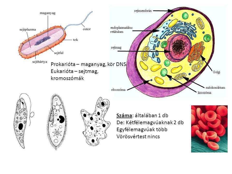 Prokarióta – maganyag, kör DNS Eukarióta – sejtmag, kromoszómák