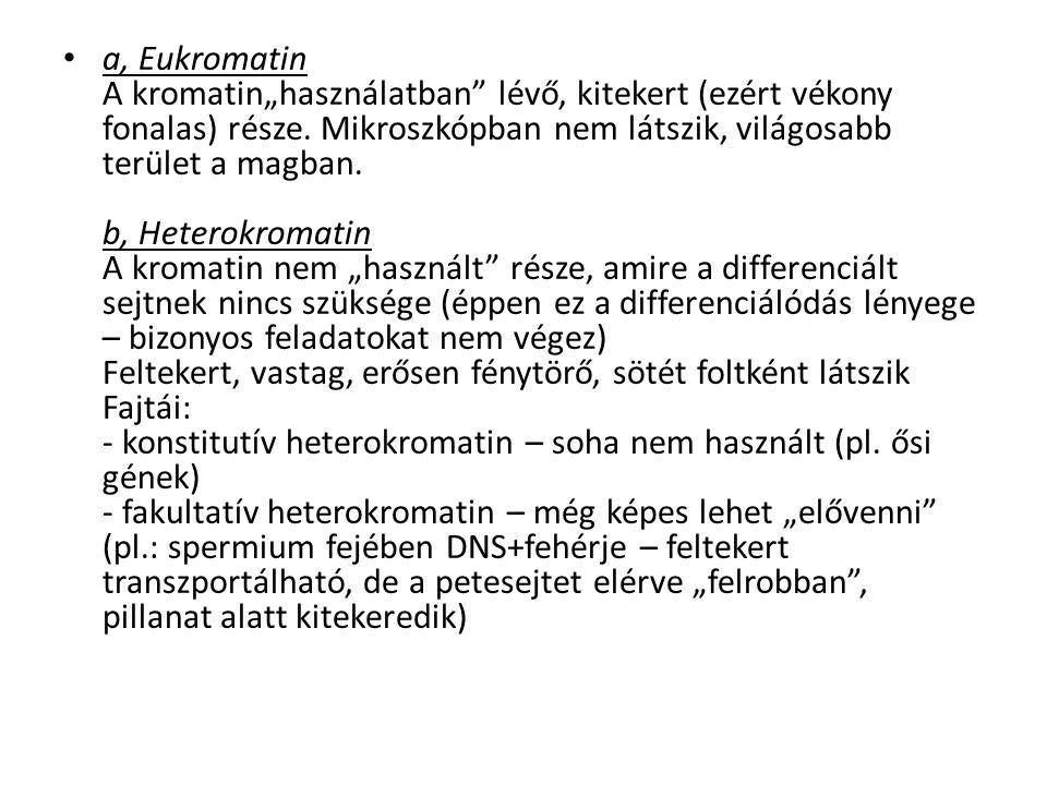 """a, Eukromatin A kromatin""""használatban lévő, kitekert (ezért vékony fonalas) része."""