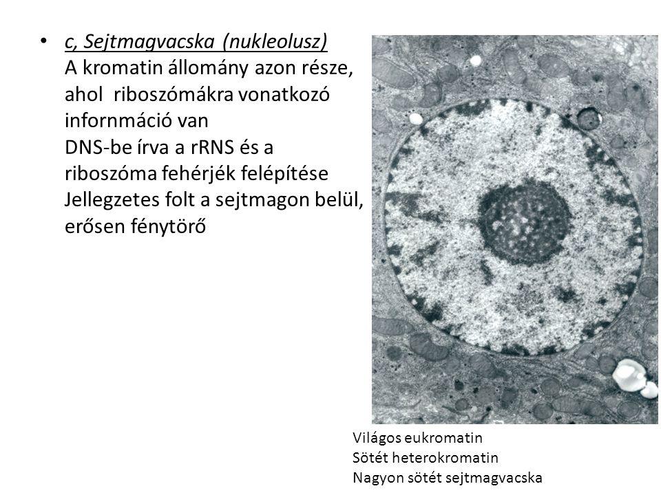 c, Sejtmagvacska (nukleolusz) A kromatin állomány azon része, ahol riboszómákra vonatkozó infornmáció van DNS-be írva a rRNS és a riboszóma fehérjék felépítése Jellegzetes folt a sejtmagon belül, erősen fénytörő