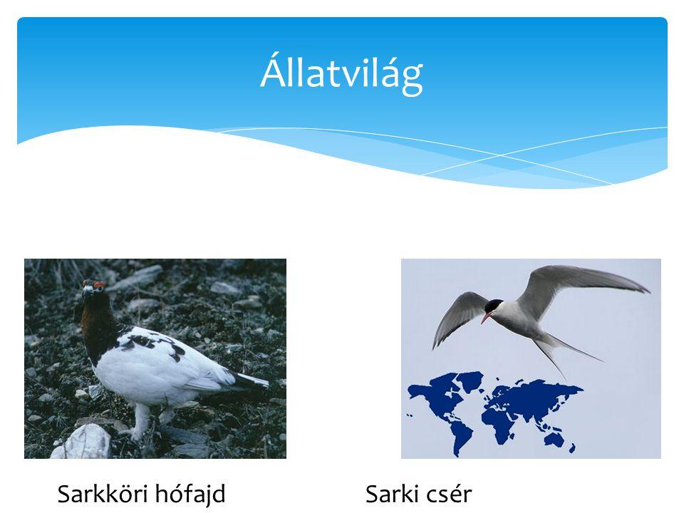 Állatvilág Sarkköri hófajd Sarki csér
