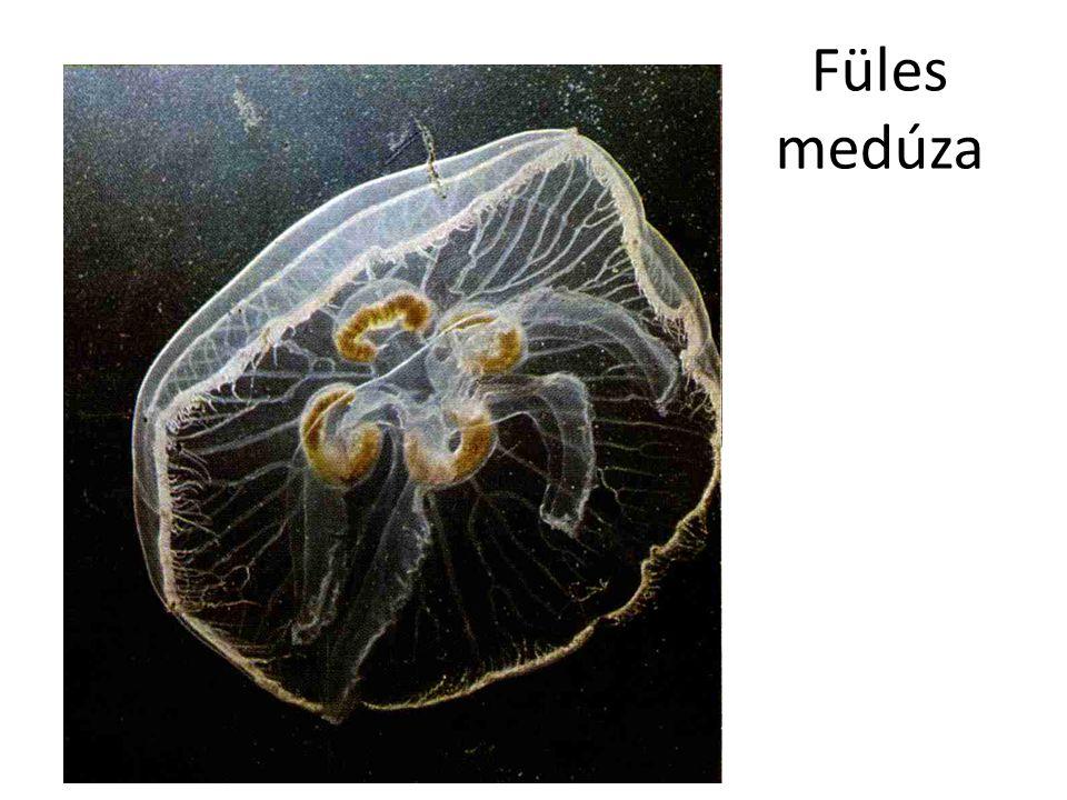Füles medúza Bal oldali kép: Internet