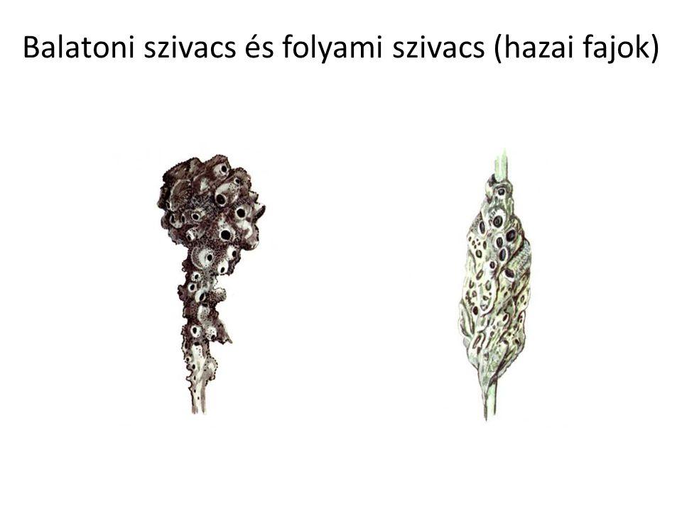 Balatoni szivacs és folyami szivacs (hazai fajok)