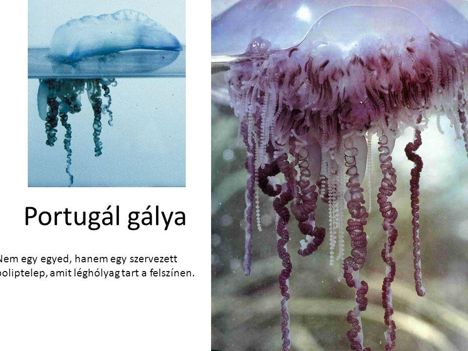 Portugál gálya Bal oldali kép: Internet. Jobb oldali kép: Desmond Morris: Állatlesen, Európa Könyvkiadó, 1992.