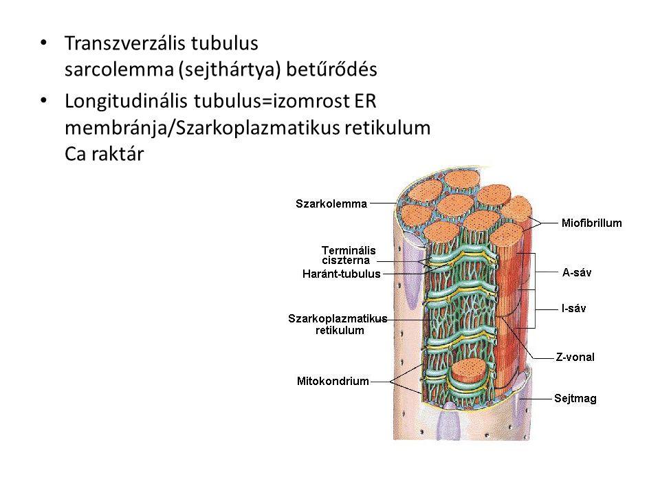 Transzverzális tubulus sarcolemma (sejthártya) betűrődés