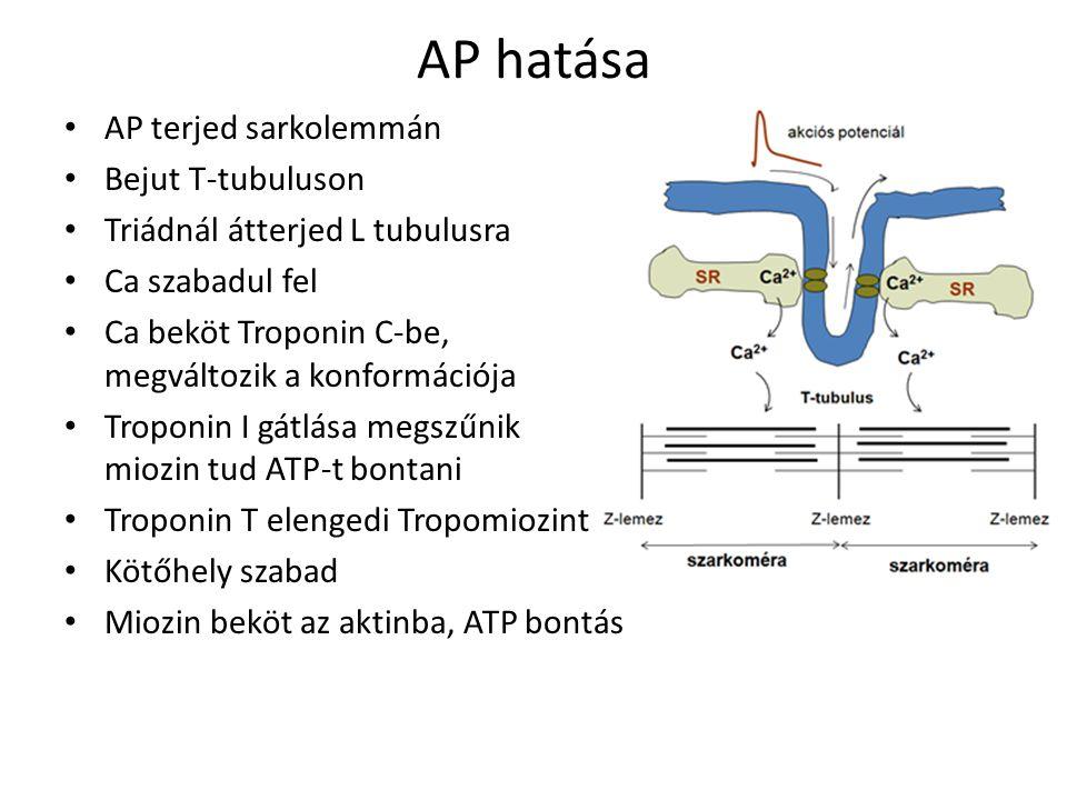 AP hatása AP terjed sarkolemmán Bejut T-tubuluson