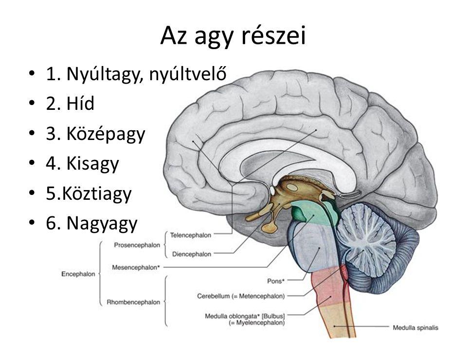 Az agy részei 1. Nyúltagy, nyúltvelő 2. Híd 3. Középagy 4. Kisagy