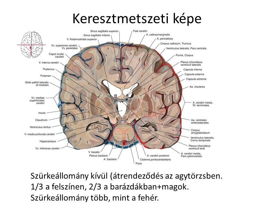 Keresztmetszeti képe Szürkeállomány kívül (átrendeződés az agytörzsben.