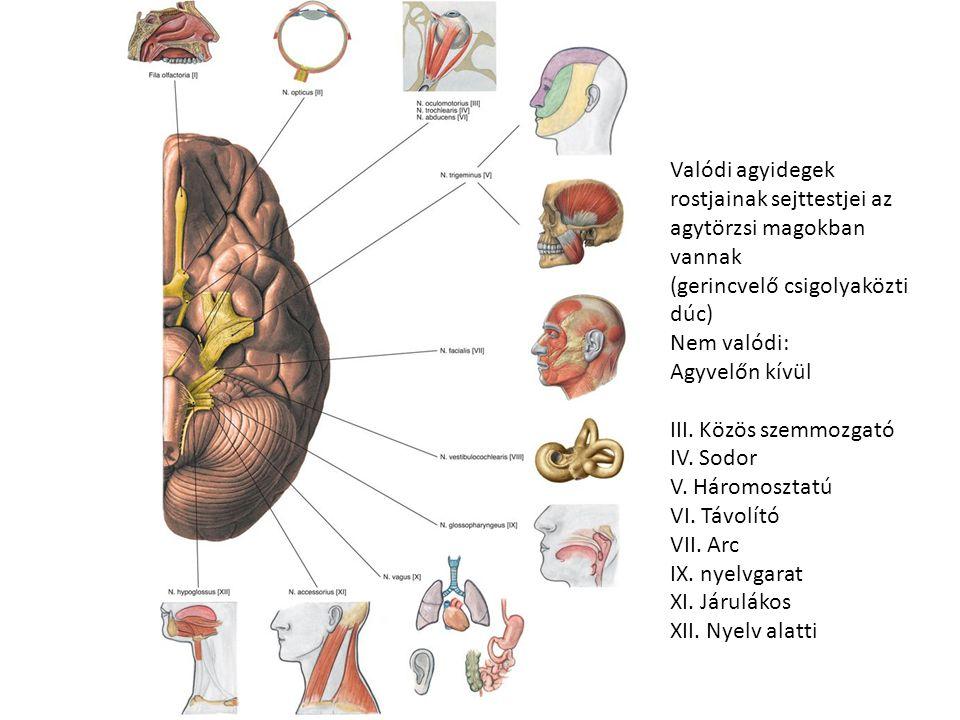 Valódi agyidegek rostjainak sejttestjei az agytörzsi magokban vannak (gerincvelő csigolyaközti dúc) Nem valódi: Agyvelőn kívül III.