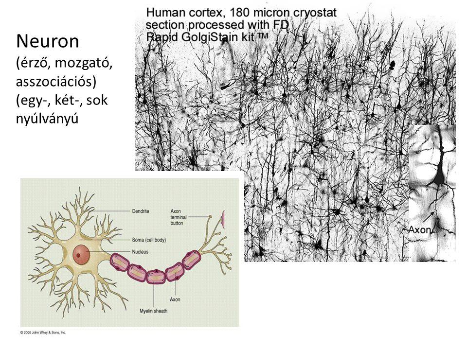 Neuron (érző, mozgató, asszociációs) (egy-, két-, sok nyúlványú