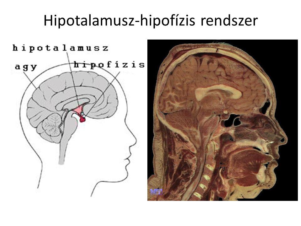 Hipotalamusz-hipofízis rendszer