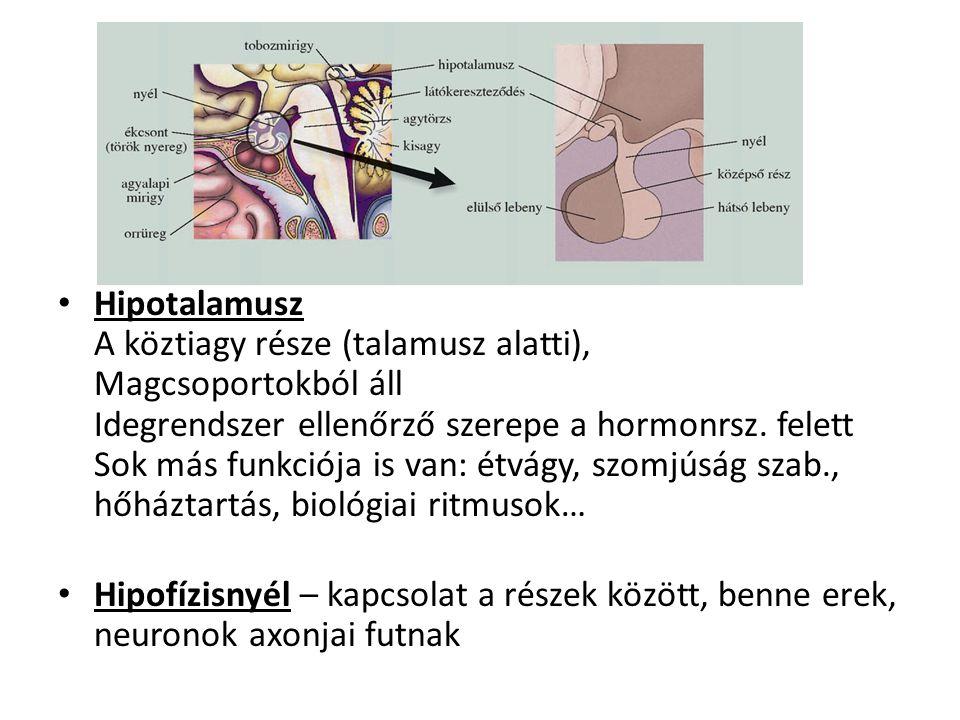 Hipotalamusz A köztiagy része (talamusz alatti), Magcsoportokból áll Idegrendszer ellenőrző szerepe a hormonrsz. felett Sok más funkciója is van: étvágy, szomjúság szab., hőháztartás, biológiai ritmusok…
