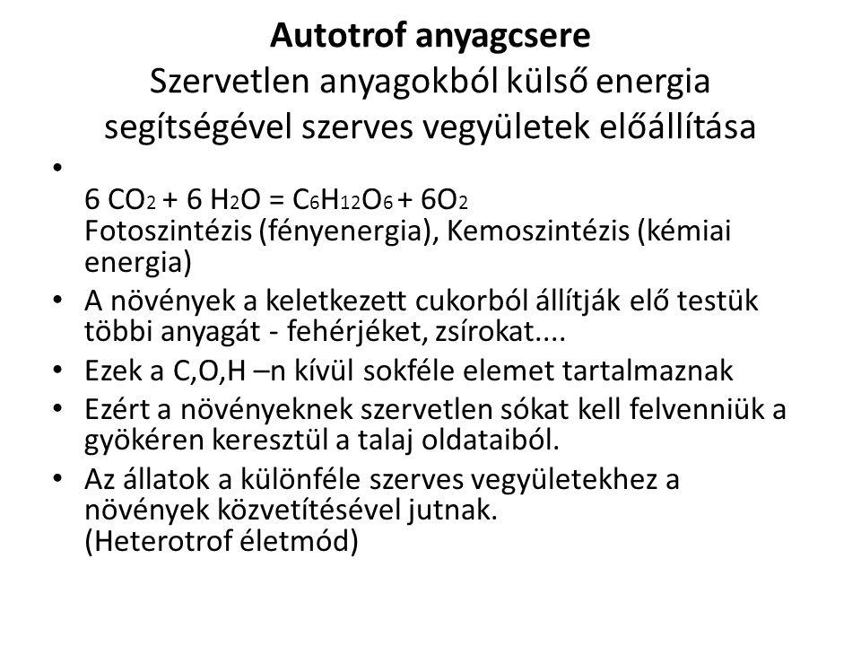 Autotrof anyagcsere Szervetlen anyagokból külső energia segítségével szerves vegyületek előállítása