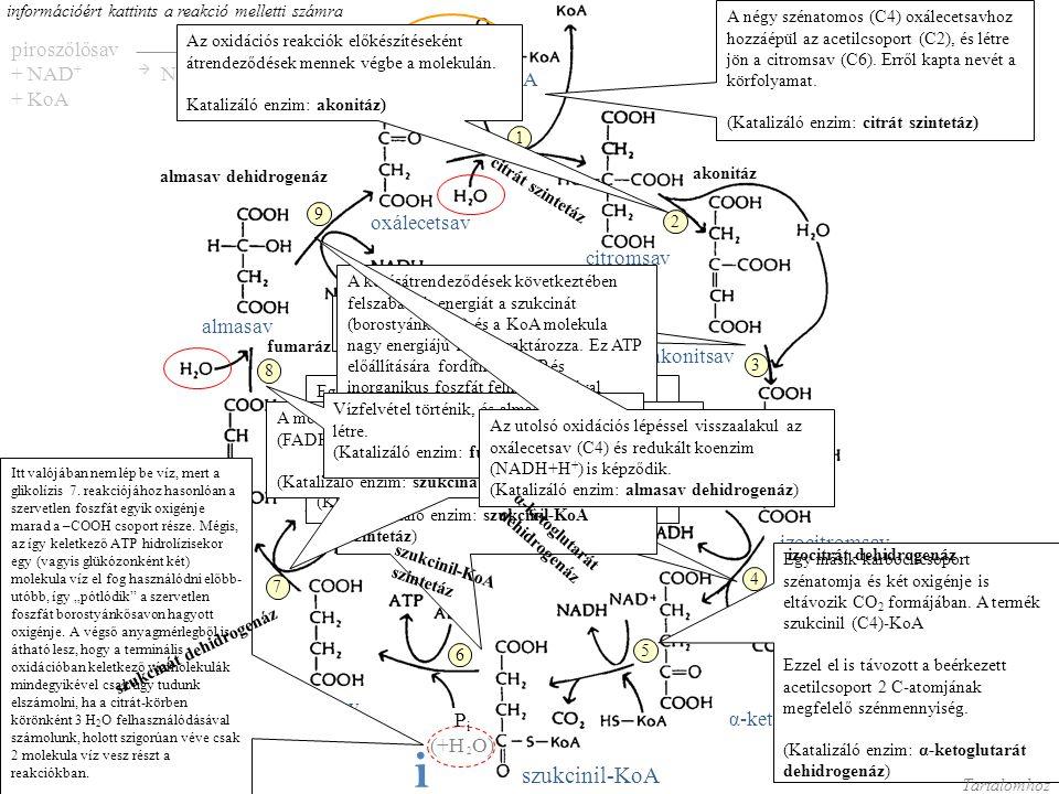 i szukcinil-KoA piroszőlősav + NAD+  NADH+H+ + KoA acetil-KoA