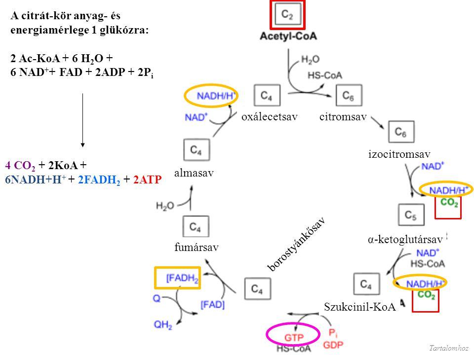 energiamérlege 1 glükózra: 2 Ac-KoA + 6 H2O + 6 NAD++ FAD + 2ADP + 2Pi