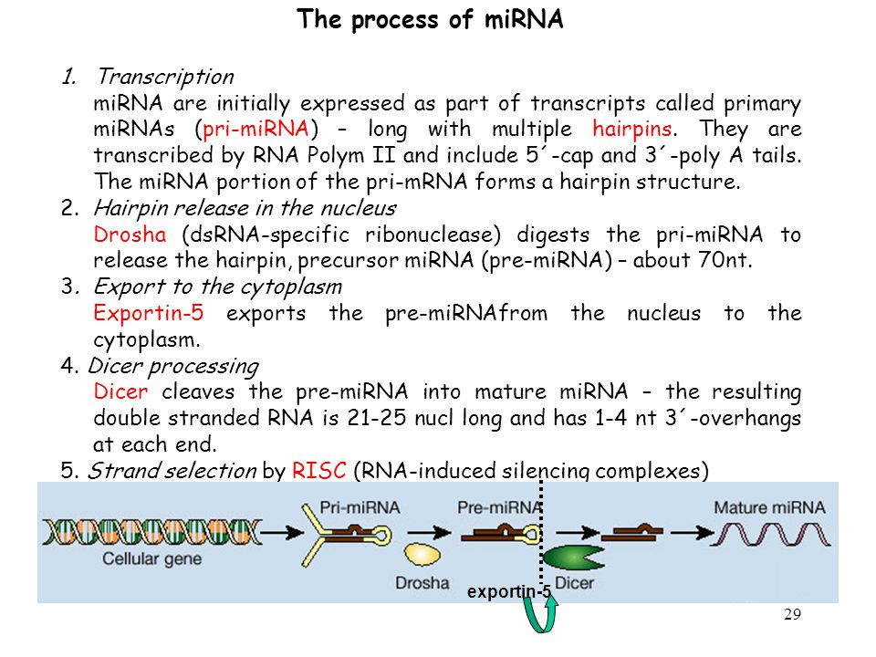 The process of miRNA Transcription