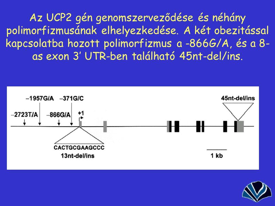 Az UCP2 gén genomszerveződése és néhány polimorfizmusának elhelyezkedése.