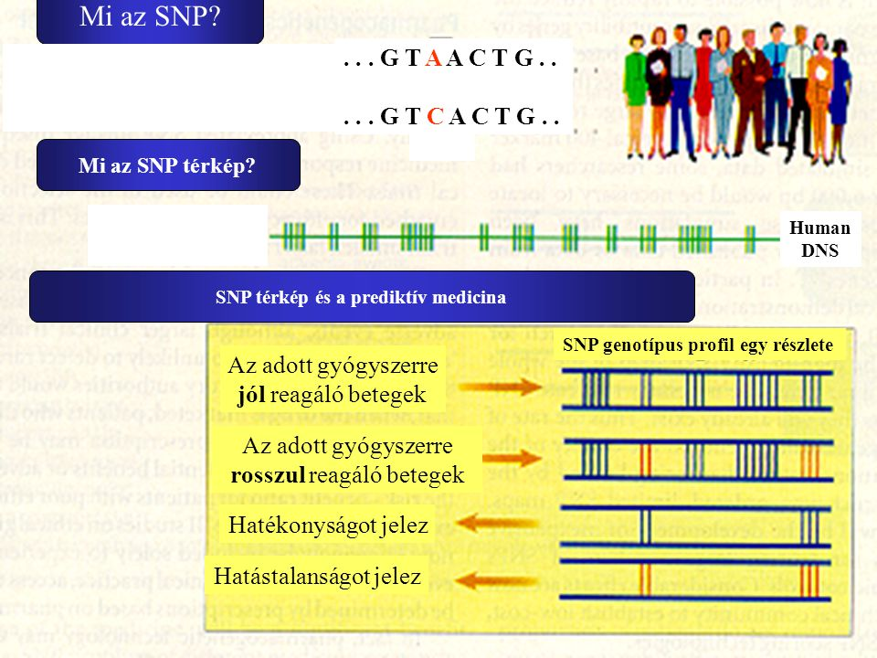 Mi az SNP . . . G T A A C T G . . . . . G T C A C T G . .