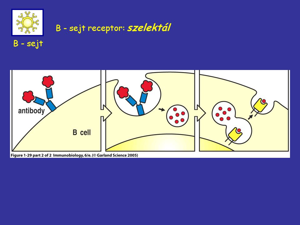 B - sejt receptor: szelektál