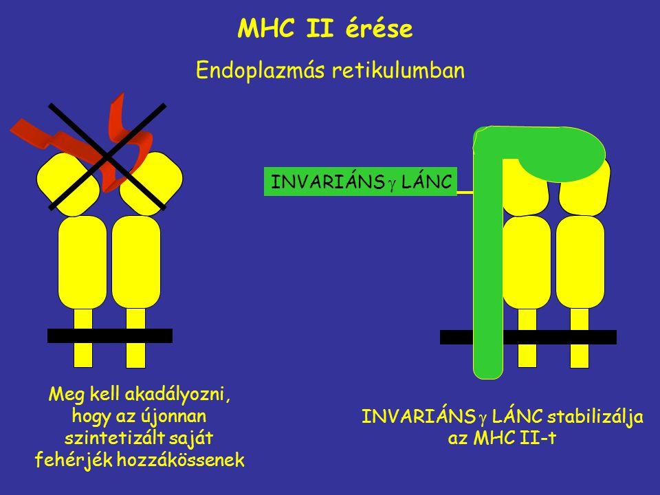 MHC II érése Endoplazmás retikulumban INVARIÁNS  LÁNC