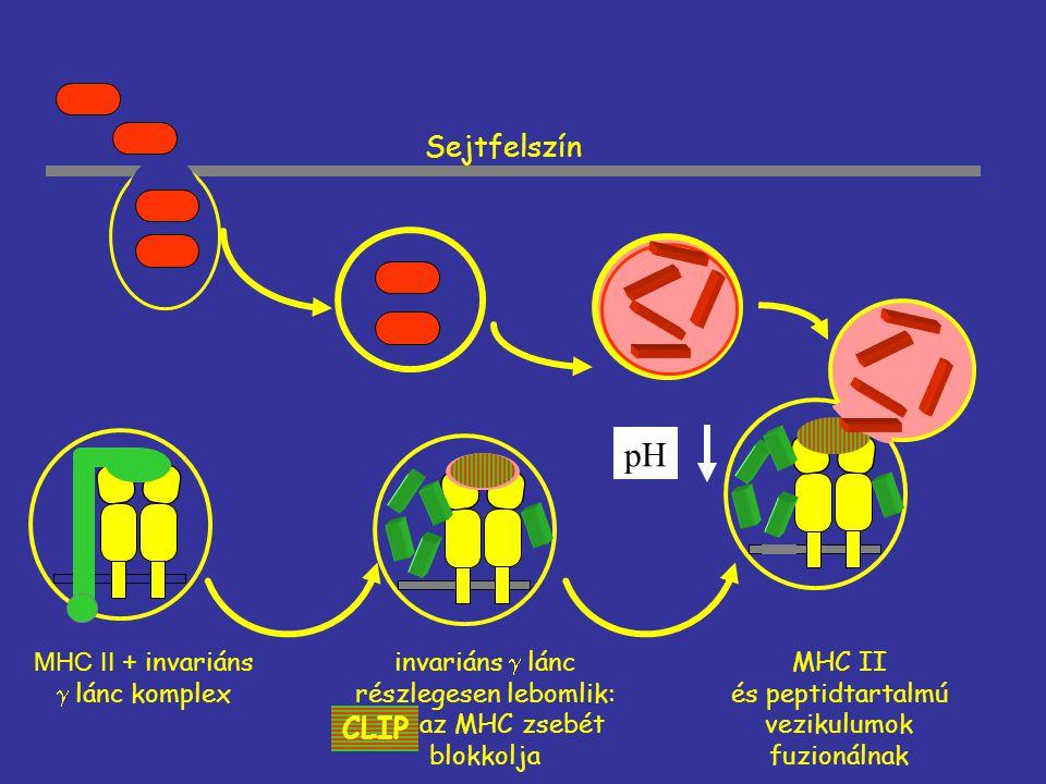 pH Sejtfelszín CLIP MHC II és peptidtartalmú vezikulumok fuzionálnak
