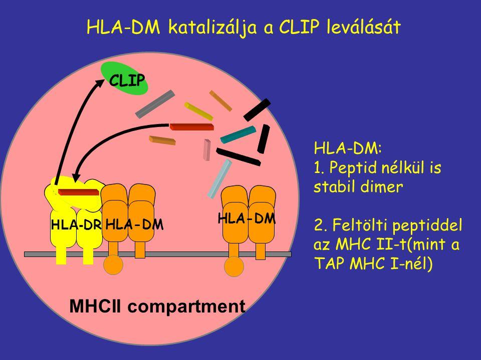HLA-DM katalizálja a CLIP leválását